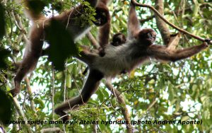 1_Spider_Monkey_with_credits_cropped2